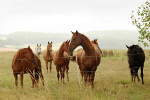 Foto: Westfälische Impression mit Pferden in der Weide. http://de.fotolia.com/id/9229296 © Maria Kondratjeva / fotolia.com